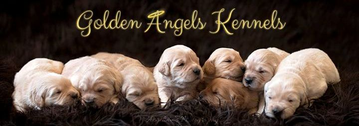 Golden Angels Kennels